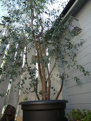 Eukalyptus-Pflanze mit Topf winterhart 280