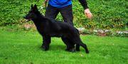 Lackschwarzer Schäferhundrüde sucht neuen Wirkungskreis