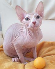 Wunderschöne Sphinx Kitten