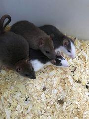 Ratten Männchen