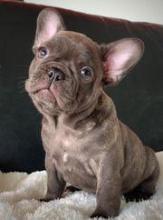 Französische Bulldogge wunderschöner Rüde