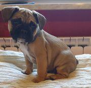 Französischen Bulldoggen Welpen in Sabel