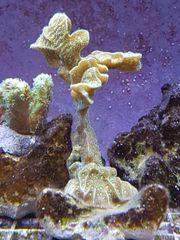 hydnophora