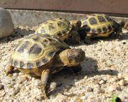 Landschildkrötenbabys Steppenschildkröte