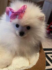 Pomeranian Boo Babyface