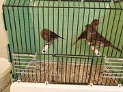 Kanarienhähne schwarz-rot Mosaik