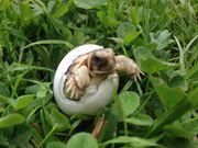 40 Tiere Nachzucht 2020 Breitrandschildkröten