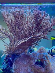 Ableger rosa Gorgonie Meerwasser Korallen