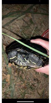 Gelbwangschmuckschildkröte