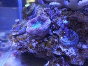 Meerwasser Garnelen Korallen