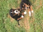 erstaunliche Beagle-Welpen sind jetzt bereit