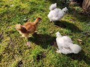 Küken Seidies Seidenhühner groß - keine