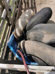 4 Minischweine dringend abzugeben