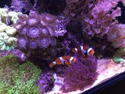 Sehr schönes Paar Nemos Amphiprion