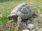 Landschildkröte von 2012