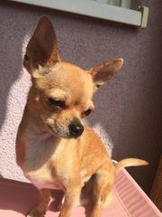 Deckrüde Chihuahua Kein Verkauf