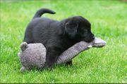 Reinrassige Labrador Welpe Hündin