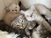 BKH Kitten und Scottish fold