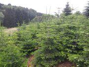 Nordmanntannen Weihnachtsbäume Christbaum Tanne Bäume