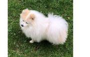 ccc Cute Pomeranian Puppy