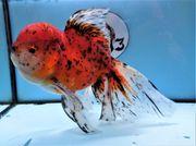 KOI 13 Anz 112 2020 Goldfisch -
