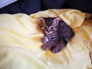 Katzen- Mix Kitten