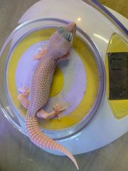 0 1 Diablo Blanco Leopardgecko