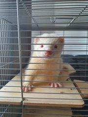 Albino Frettchen männchen 3 monate