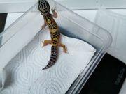 leopardegecko wilde Typ Männchen nz