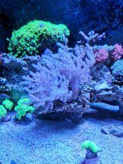 Meerwasser Korallen kupferanemone keniabäumchen