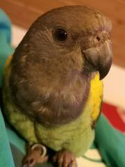 Goldburg Papagei handzahme