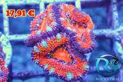 Acanthastrea Meerwasser korallen