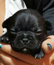 Französische bulldogge welpen Blue Tan