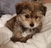 Mini Golddust Yorkshire Terrier