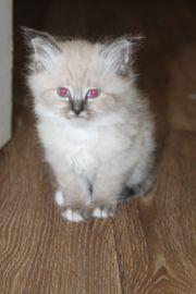 Heilige Birma Kitten Katzenbaby Katze