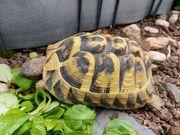 Griechische Landschildkröte 9 Jahre weiblich