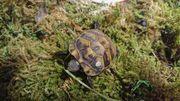 Griechischen Landschildkrötenbabys THB aus NZ