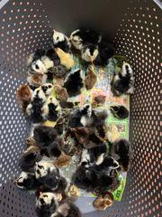 schwedische Blumenhühner Küken frisch geschlüpft