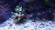 Meerwasser crassa anemonen mini anemonen