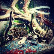 Nachwuchs meiner Channa Gachua Schlangenkopffisch