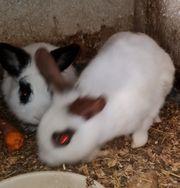 zwerg kaninchen Pärchen