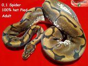0 1 Spider het Pied