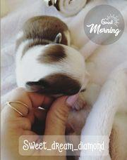 Schöne kleine winzige Chihuahua Buchung