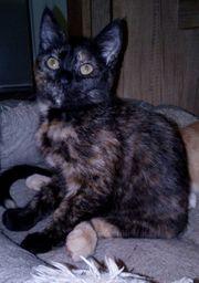 Katzenbaby Babykatze Kitten 17 Wo