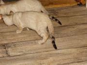 Golden-Wildcat hat wieder zuckersüße Bengal Babys