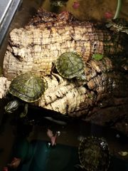 Schmuckschildkröten Babys