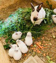 Reinrassige Kalifornier Kaninchen