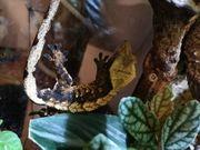 schönes Gecko Männchen Neukaledonischer Kronengecko