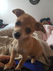 Chihuahua merle jackrussel mix