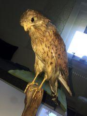 Tierpräparat -Greifvogel Sperber-